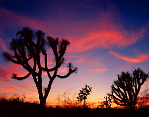 Silhouette of Joshua trees (Yucca brevifolia) at sunset, Joshua Forest Parkway, Arizona, USA  -  Jack Dykinga