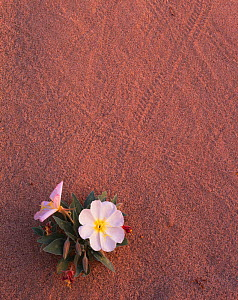 Birdcage evening primrose (Oenothera deltoides) growing in sand dunes, with beetle tracks in the sand, East Mojave Desert, California, USA - Jack Dykinga