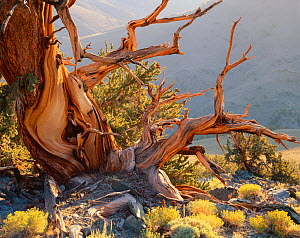 Twisted roots and trunk of Bristlecone pine {Pinus aristata var. longaeva} White Mountains, California, USA - Jack Dykinga