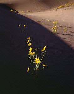 Prairie sunflowers (Helianthus petiolaris) catching the sunlight on a sand dune in deep morning shadow. Great Sand Dunes National Monument, Colorado, USA  -  Jack Dykinga