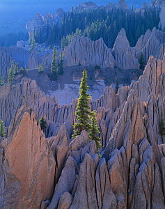 Engelmann spruce (Picea engelmannii) growing amongst pinnacles of volcanic tuff, dawn, Wheeler Geological Area Wilderness, Rio Grande National Forest, Colorado, USA - Jack Dykinga