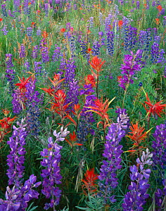 Wildflower meadow with Silvery lupin {Lupinus argenteus}, Indian paintbrush {Castilleja miniatus} and Alpine penstemon {Penstemon alpinus} Rio Grande National Forest, Colorado, USA - Jack Dykinga