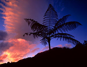 Silhouette of Tree ferns {Cyathea sp} against sunset after a storm, El Triunfo Biosphere Reserve, Chiapas, Mexico  -  Jack Dykinga