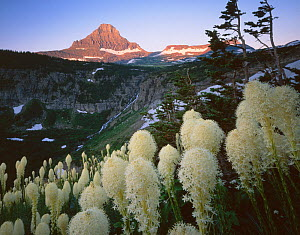 Flowering Beargrass {Xerophyllum tenax} with Reynolds Creek and Reynolds Mountains in the background, Glacier National Park, Montana, USA  -  Jack Dykinga