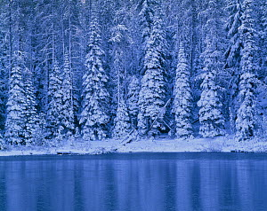 Snow covered coniferous trees beside Campers Lake, Willamette National Forest, Oregon, USA  -  Jack Dykinga
