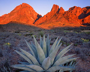 Agave {Agave havardiana} plant at sunset with Chisos Mountains in the background, Big Bond National Park, Texas, USA  -  Jack Dykinga