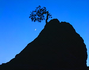 Silhouette of lone Ponderosa pine on a sandstone spire at dusk, with crescent moon, Zion National Park, Utah, USA  -  Jack Dykinga