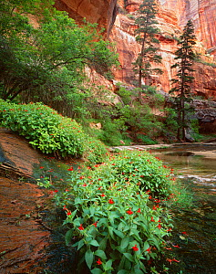 Scarlet monkey flowers {Mimulus cardinalis} and White firs {Abies concolor} at base of steep canyon walls, Fork North Creek, Zion National Park, Utah, USA  -  Jack Dykinga