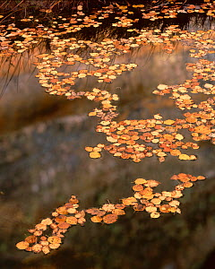 Fallen leaves of Boxelder {Acer Negundo} and Cottonwood {Populus fremontii) floating on pool in autumn, Lower Calf Creek Falls, Grand Staircase - Escalante National Monument, Utah  -  Jack Dykinga