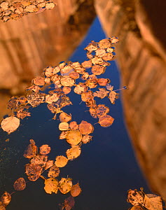 Fallen leaves of Boxelder {Acer Negundo} and Cottonwood {Populus fremontii) floating on pool in autumn with reflections of canyon walls, Lower Calf Creek Falls, Grand Staircase - Escalante National Mo... - Jack Dykinga