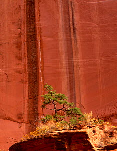 Lone Ponderosa pine tree {Pinus ponderosa} in front of canyon walls showing drip mark fractures, Long Canyon, Grand Staircase-Escalante National Monumnet, Utah, USA  -  Jack Dykinga