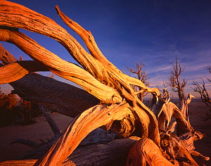 Twisted roots of Bristlecone pine {Pinus aristata var. longaeva} cling to cliff edge at Rainbow Point, Bryce Canyon National Park, Utah, USA - Jack Dykinga