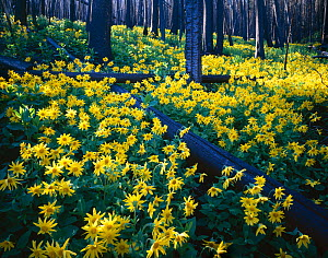 Heartleaf arnica {Arnica cordifolia} flowering in coniferous forest, tree trunks show charring from the great 1988 forest fire, Mount Washburn, Yellowstone NP, Wyoming, USA  -  Jack Dykinga