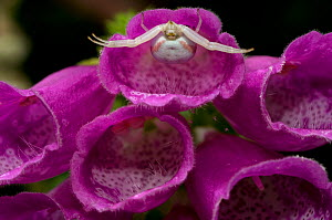 Crab spider (Misumena vatia) in a Foxglove flower waiting for prey, UK  -  SINCLAIR STAMMERS
