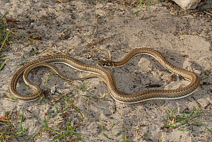 Karoo whip snake (Psammophis notostictus) DeHoop Nature Reserve, Western Cape, South Africa  -  Tony Phelps
