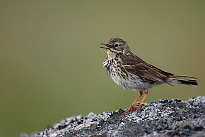 Meadow pipit (Anthus pratensis) standing on rock calling, Norway  -  Jose Luis GOMEZ de FRANCISCO