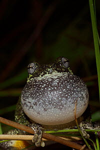 Grey tree frog (Hyla versicolor) calling to attract mate, New York, USA - John Cancalosi