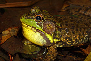 Green frog (Rana clamitans) male calling to attract mate, New York, USA  -  John Cancalosi