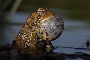American toad (Bufo americanus) male calling to attract female, New York, USA - John Cancalosi