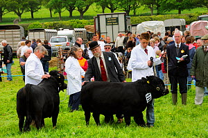 Judge inspecting a bull Dexter (Bos taurus), the smallest British breed of cattle, at North Somerset show, Wraxall, Nr Bristo, UK, May 2009  -  Nick Upton