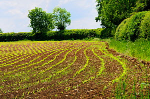 Arable field with young Maize / Sweetcorn seedlings (Zea mays) growing in neat parallel rows, Wiltshire, UK, late spring 2009 - Nick Upton