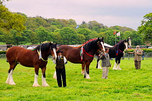 Shire horses (Equus caballus) being shown off in competition at North Somerset show, Wraxall, Nr Bristol, UK. May 2009  -  Nick Upton