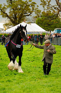 Shire horse (Equus caballus) being shown off in competition at North Somerset show, Wraxall, Nr Bristol, UK. May 2009  -  Nick Upton