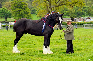 Shire horse (Equus caballus), winner of heavy horse competition at North Somerset show, Wraxall, Nr Bristol, UK. May 2009  -  Nick Upton