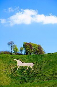 Cherhill white horse, first cut into chalk downland in 1780, Wiltshire, UK, spring 2009 - Nick Upton