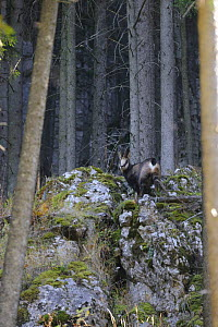 Carpathian chamois (Rupicapra rupicapra carpatica) on rocks, Cheile Bicazului-Hasmas National Park, Carpathian Mountains, Transsylvania, Romania, October 2008 - Wild Wonders of Europe / Dörr