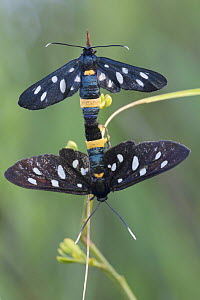 Nine-spotted moth (Amata / Syntomis phegea) pair mating, San Marino, May 2009 - Wild Wonders of Europe / Möllers