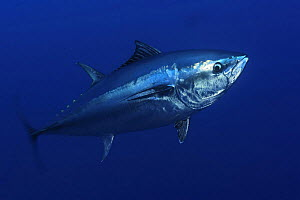 Atlantic bluefin tuna (Thunnus thynnus) portrait, captive, Malta, Mediteranean, May 2009  -  Wild Wonders of Europe / Zankl