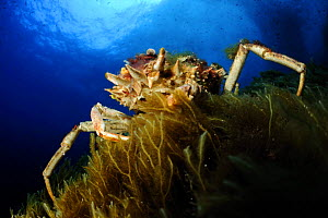 Spiny spider crab (Maja squinado) on seaweed, Malta, Mediteranean, May 2009  -  Wild Wonders of Europe / Zankl