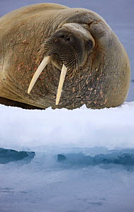 Walrus (Odobenus rosmarus) on ice, Spitsbergen, Svalbard, Norway, June 2009 - Wild Wonders of Europe / Liodden
