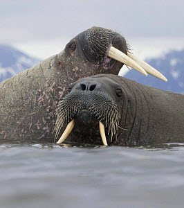 Walrus (Odobenus rosmarus) pair in shallow water, Richardlagunen, Forlandet National Park, Prins Karls Forland, Svalbard, Norway, June 2009 - Wild Wonders of Europe / Liodden