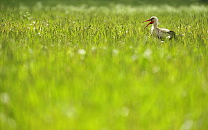 White stork (Ciconia ciconia) in long grass calling, Kurmene, Latvia, June 2009  -  Wild Wonders of Europe / López