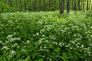 Cow parsley (Anthriscus sylvestris) growing in woodland, Slitere National Park, Latvia, June 2009 - Wild Wonders of Europe / López
