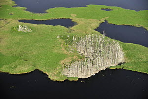 Aerial view of Great cormorant (Phalacrocorax carbo sinensis) colony in dead trees, Kemeri National Park, Latvia, June 2009 - Wild Wonders of Europe / López