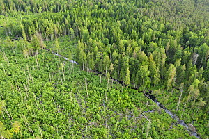 Aerial view of Eurasian beaver (Castor fiber) destruction in a forest, Kemeri National Park, Latvia, June 2009  -  Wild Wonders of Europe / López