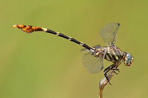 Male Five striped Leaftail (Phyllogomphoides albrighti) Near Bentsen Rio Grande Valley State Park, Mission, Texas, USA  -  David Welling