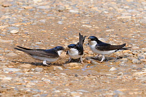 House martin (Delichon urbicum) adults collecting mud for nestbuilding, Norfolk, UK, May - Gary K. Smith
