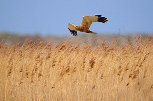 Marsh Harrier (Circus aeruginosus) male bird in flight over reed bed, Norfolk, UK, March - Gary K. Smith