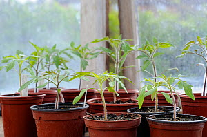 Young tomato plants in 9cm pots on greenhouse staging, Norfolk, UK, April  -  Gary K. Smith