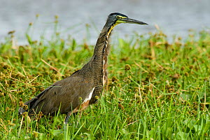 Bare throated tiger heron (Tigrisoma mexicanum) portrait, Palo Verde National Park, Costa Rica  -  Martin Gabriel