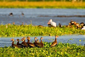 Black bellied whistling ducks (Dendrocygna autumnalis) Palo Verde National Park, Costa Rica  -  Martin Gabriel