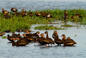 Black bellied whistling ducks (Dendrocygna autumnalis) in shallow water, Palo Verde National Park, Costa Rica  -  Martin Gabriel