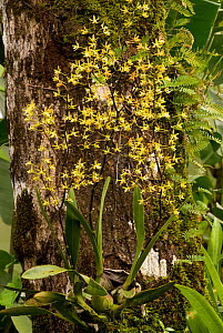 Tropical orchid growing epiphytically on a tree trunk, La Fortuna, Costa Rica - Martin Gabriel