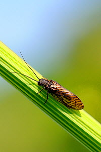 Alder fly (Sialis lutaria) resting on Angelica stem on river bank, Wiltshire, UK, May  -  Nick Upton