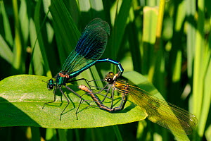 Male Banded demoiselle damselfly (Calopteryx splendens) gripping female with tail claspers as she prepares to mate in wheel position, Wiltshire, UK, May  -  Nick Upton