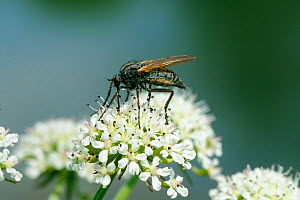 Dance fly (Empis tessellata) feeding on Wild Angelica (Angelica sylvatica) nectar, Wiltshire, UK, May  -  Nick Upton